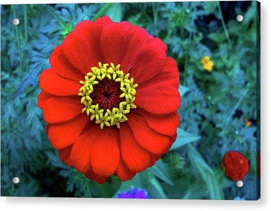 September Red Beauty Acrylic Print