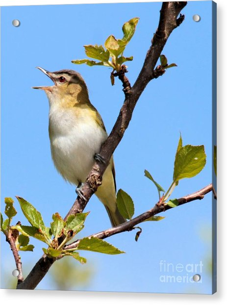 Singing Red-eyed Vireo Acrylic Print