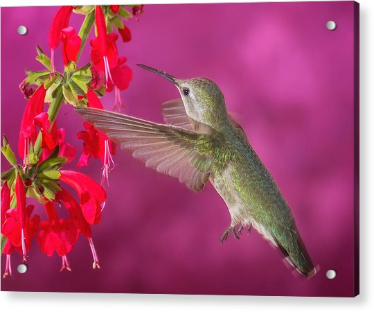 Sipping At The Salvia Acrylic Print