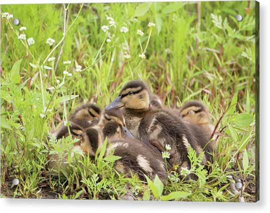 Sleepy Ducklings Acrylic Print