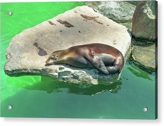Sleepy Sea Lion Acrylic Print