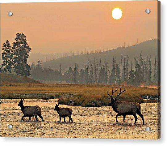 Smokey Elk Crossing Acrylic Print