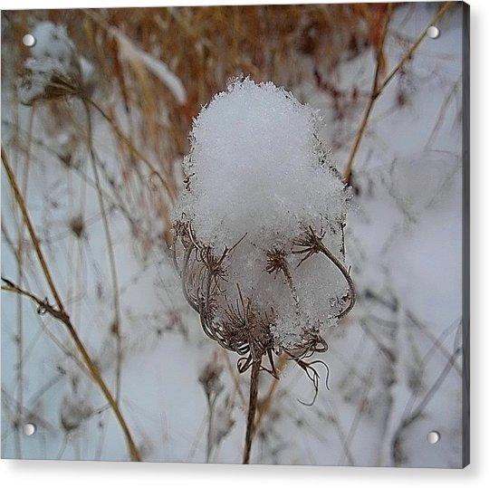 Snow Anne's Lace Acrylic Print