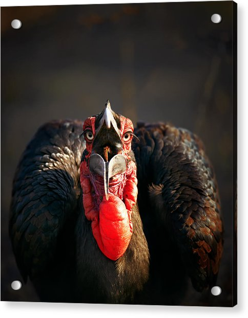 Southern Ground Hornbill Swallowing A Seed Acrylic Print