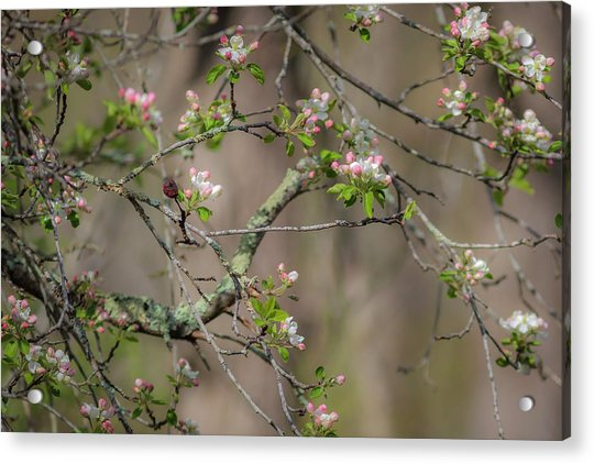 Spring Blossoms 2 Acrylic Print