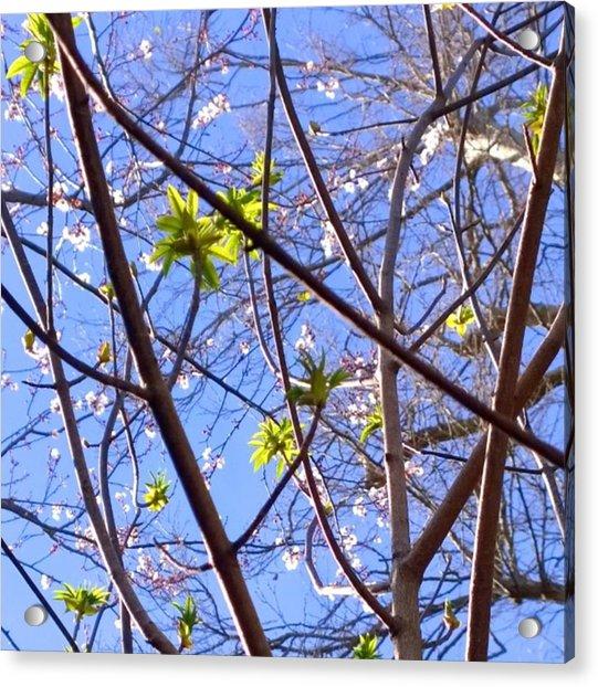 Spring Leaves #seasons #trees Acrylic Print