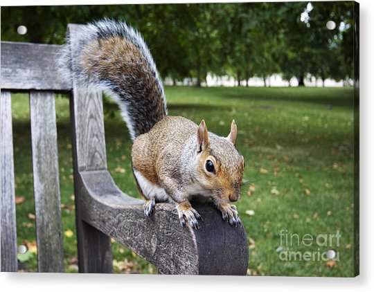 Squirrel Bench Acrylic Print