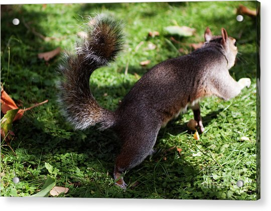 Squirrel Running Acrylic Print