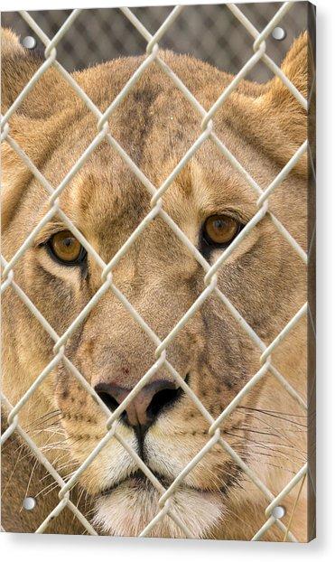 Staring Lioness Acrylic Print