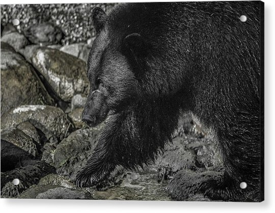Stepping Into The Creek Black Bear Acrylic Print