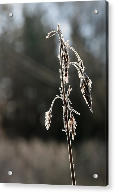 Straw In Backlight Acrylic Print