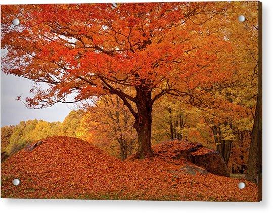 Sturdy Maple In Autumn Orange Acrylic Print