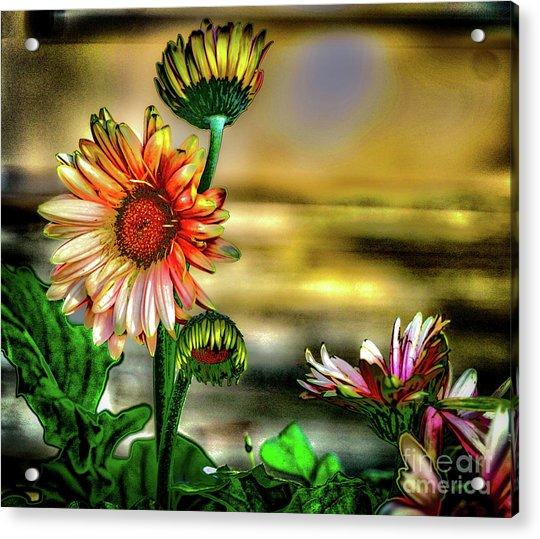 Summer Daisy Acrylic Print