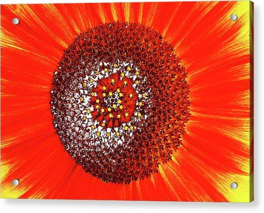 Sunflower Close Acrylic Print