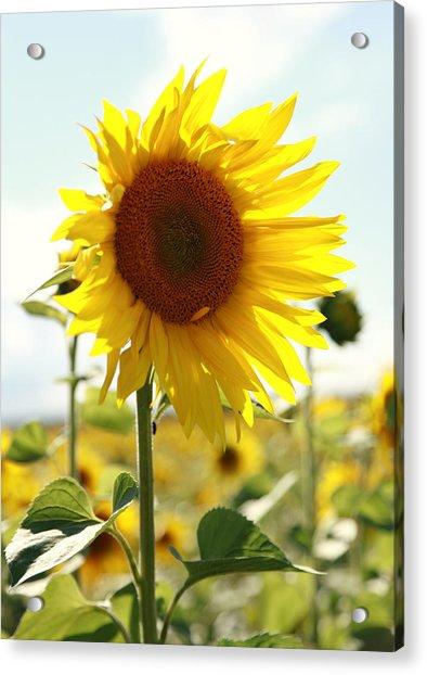 Sunflower Acrylic Print by Falko Follert