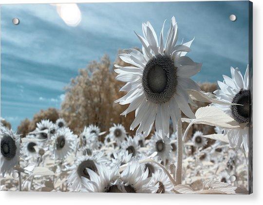 Sunflower Infrared  Acrylic Print