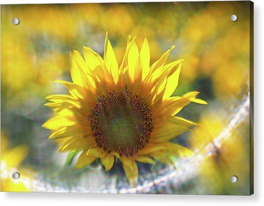 Sunflower With Lens Flare Acrylic Print