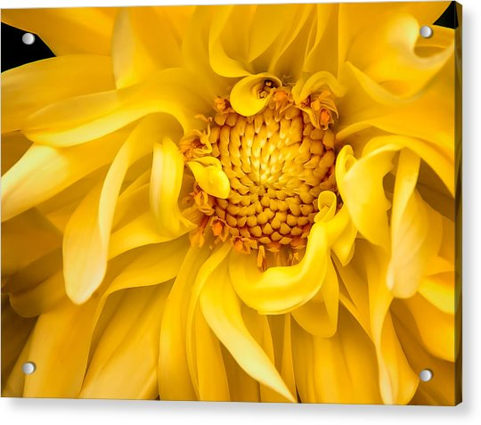 Sunflower Yellow Acrylic Print