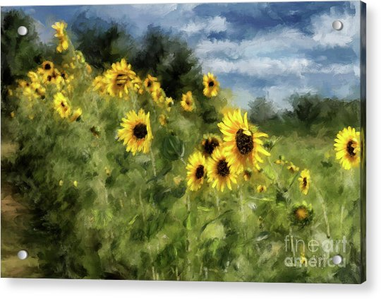 Sunflowers Bowing And Waving Acrylic Print