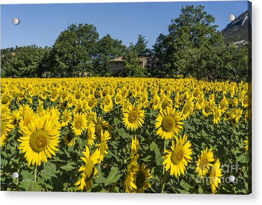 Acrylic Print featuring the photograph Sunflowers Provence  by Juergen Held