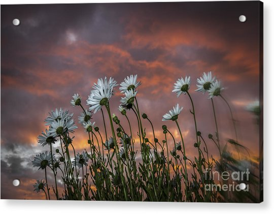 Sunset And Daisies Acrylic Print