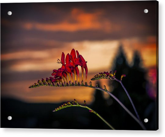 Sunset Crocosmia Acrylic Print
