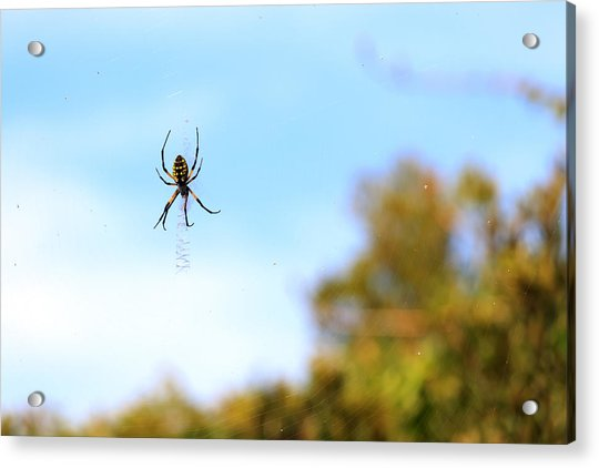 Suspended Spider Acrylic Print