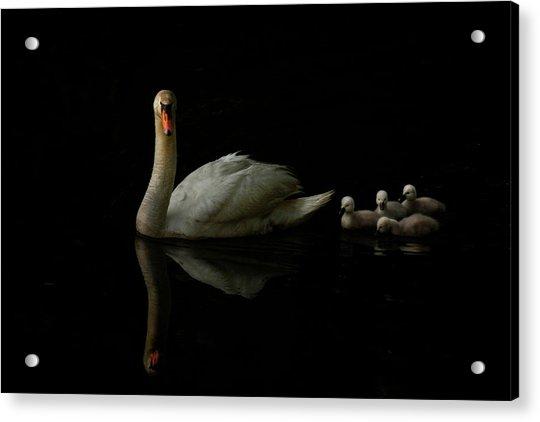Swan Babies Acrylic Print