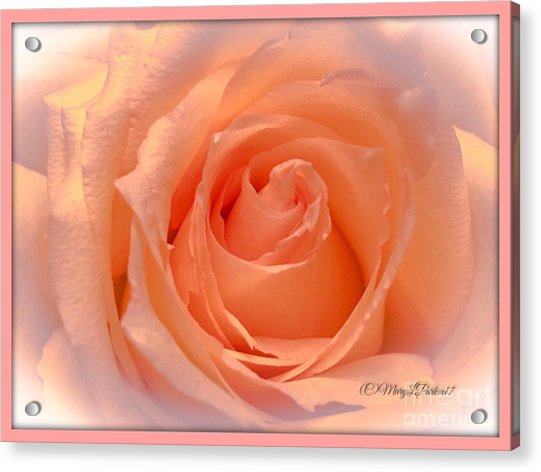 The  Beauty Of A Rose  Copyright Mary Lee Parker 17,  Acrylic Print