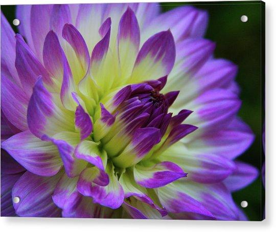 695 Dahlia Acrylic Print