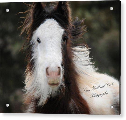 The Fuzziest Gypsy Foal Acrylic Print