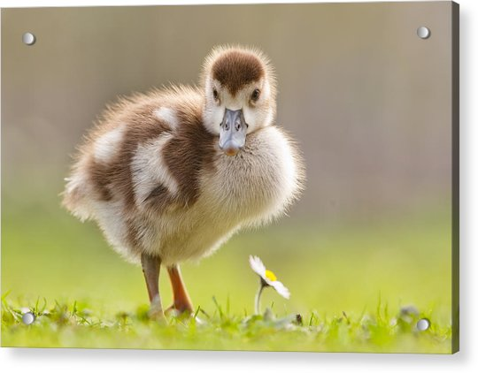 The Gosling And The Flower Acrylic Print