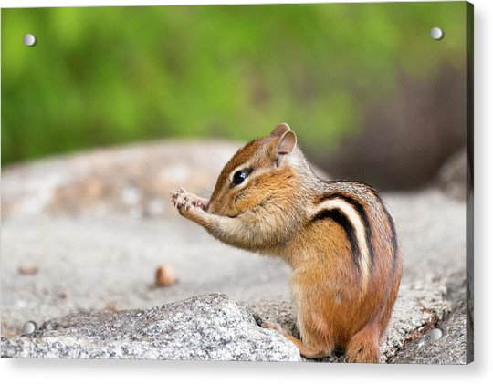 The Praying Chipmunk Acrylic Print
