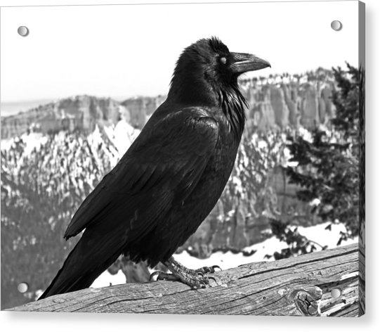 Acrylic Print featuring the photograph The Raven - Black And White by Rona Black