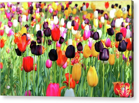 Acrylic Print featuring the photograph The Season Of Tulips by Cynthia Guinn