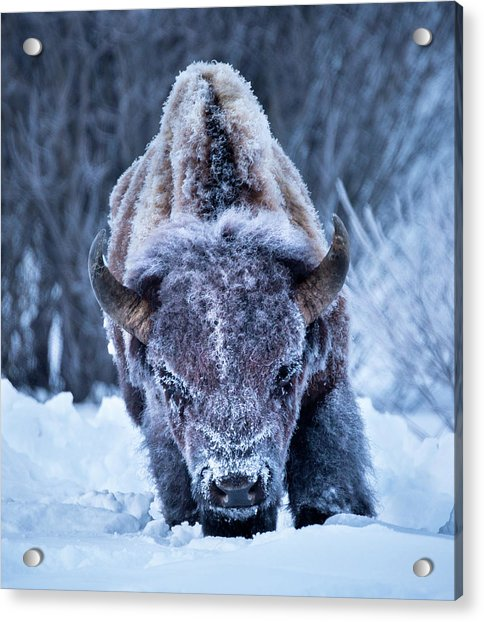 The Weary King // Yellowstone National Park  Acrylic Print