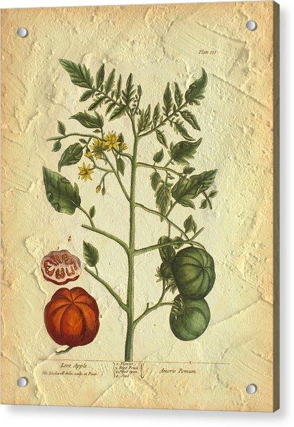 Tomato Plant Vintage Botanical Acrylic Print