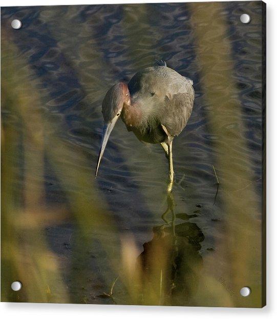 Tri-colored Heron Acrylic Print by John Ellis