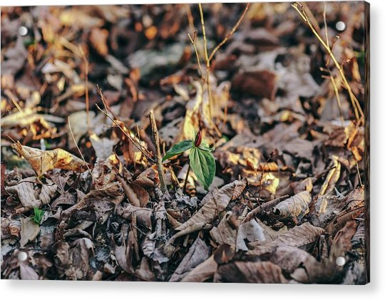 Trillium Blooming In Leaves On Forrest Floor Acrylic Print