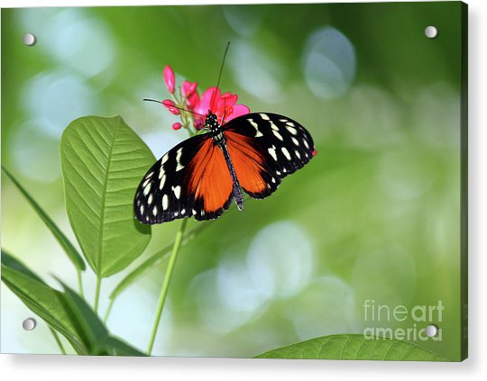 Tropical Hecale Butterfly Acrylic Print