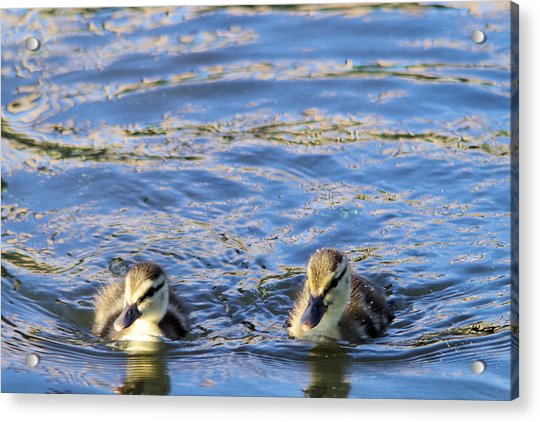 Two Ducklings Acrylic Print