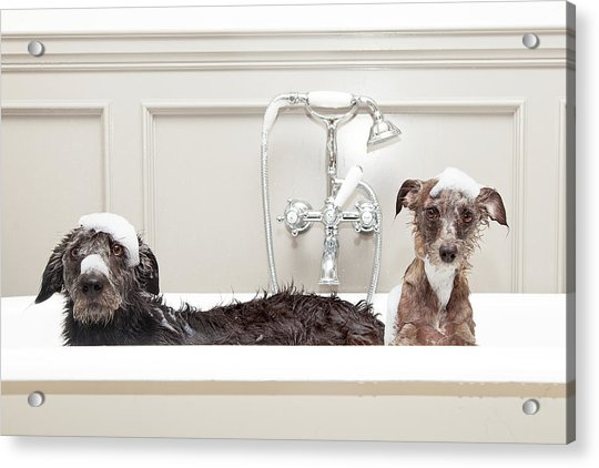Two Funny Wet Dogs In Bathtub Acrylic Print