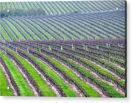 Undulating Vineyard Rows Acrylic Print