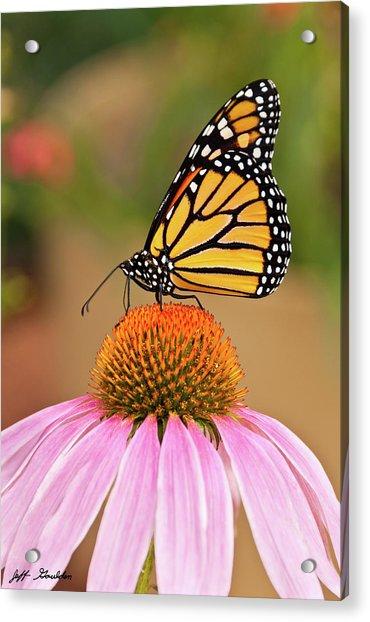 Monarch Butterfly On A Purple Coneflower Acrylic Print