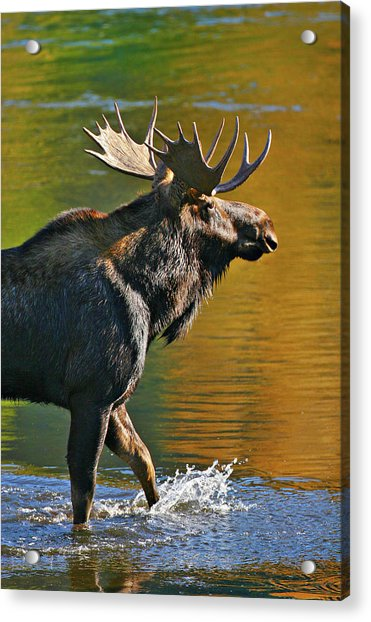 Wading Moose Acrylic Print