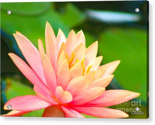 Floating Water Lily  Acrylic Print
