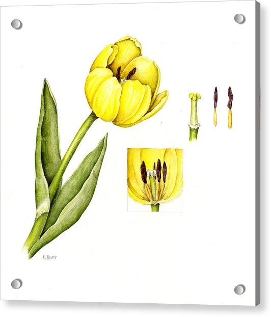 Watercolor Flower Yellow Tulip Acrylic Print