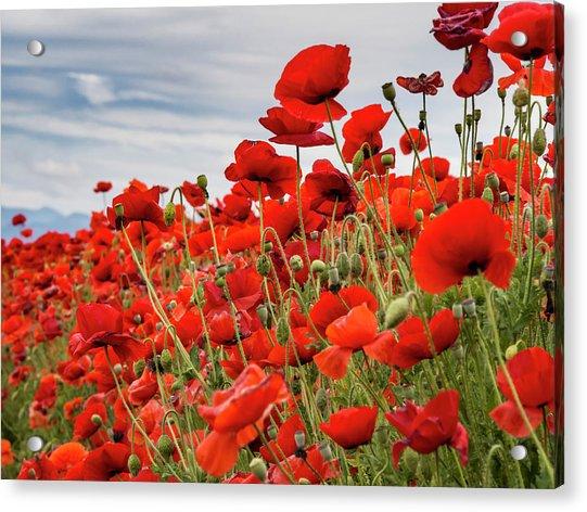 Waving Red Poppies Acrylic Print