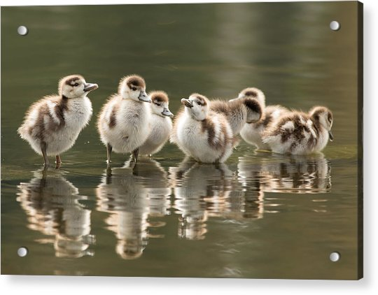 We Are Family - Seven Egytean Goslings In A Row Acrylic Print