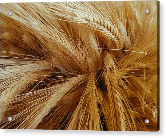 Wheat In The Sunset Acrylic Print